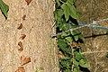 Fil de fer barbelé absorbé par un arbre 1.jpg