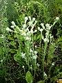 Filago vulgaris sl232.jpg