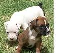 Filhotes de cão boxer.JPG