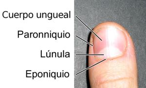 Lúnula (anatomía)