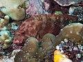 Flagtail grouper (Cephalopholis urodeta) (48279161646).jpg