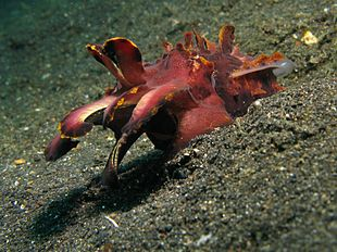 Flamboyant Cuttlefish Walking Gif