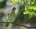 Flickr - Dario Sanches - SABIÁ-POCA (Turdus amaurochalinus) (5).jpg