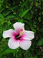 Flickr - archer10 (Dennis) - Guatemala-0730 - Hibiscus.jpg