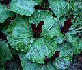 Flickr - brewbooks - Trillium chloropetalum 'Volcano' at Streissguth Gardens - Seattle (2).jpg