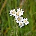 Flora (1) (25922676718).jpg