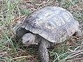 Florida gopher tortoise 002.jpg