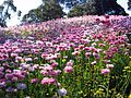 Flowers, Kings Park, Perth.jpg