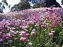 Flowers, Kings Park, Perth