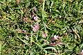 Flowers on Vellan Head (8048).jpg