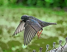 398c0bab73ad7 A European Starling in flight