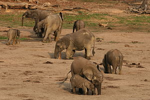 African forest elephant - Group of African forest elephants digging at a mineral lick