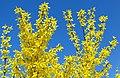 Forsythia Форзиция Цветет на фоне неба.jpg