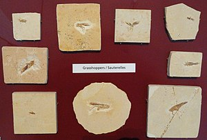 Grasshopper - Fossil grasshoppers at the Royal Ontario Museum