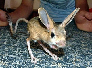 Jerboa hopping desert rodents