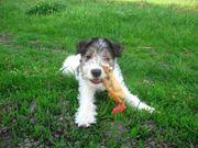 9týždňové šteňa drsnosrstého foxteriéra