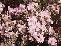 Frankenia flowers.jpg