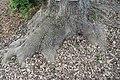 Fraxinus uhdei 4zz.jpg