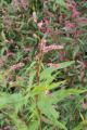 Freiensteinau Reichlos Reichloser Teich NR 82381 dried up overgrown Persicaria b.png