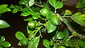 Fruit for orange-jasmin (Raw).jpg