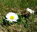 Gänseblümchen im Grünen 17-04-2010 (5).jpg