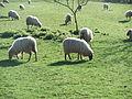 Güeñes (Vizcaya)-Ovejas lachas.jpg
