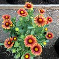Gaillardia-arizona-red-shades-IMG 7639.jpg