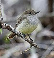 Galapagos flycatcher (33936545398).jpg