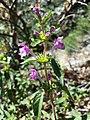 Galeopsis ladanum s. str. sl13.jpg