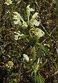Galeopsis segetum RF.jpg