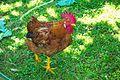 Galiña - Gallina - Chicken - Gallus gallus domesticus - 03.jpg