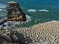 Gannet colony - Murawai - New ZealandIMG 5641 (26564445328).jpg