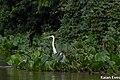 Garça observando o pantanal.jpg