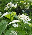 Garlic Mustard (Alliaria petiolata) Summerfields. (3465696247).jpg