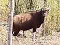 Gaur, the Indian Bison at Sarhi.jpg
