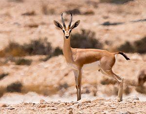 Dorcas gazelle - Dorcas gazelles. Ezuz, Israel