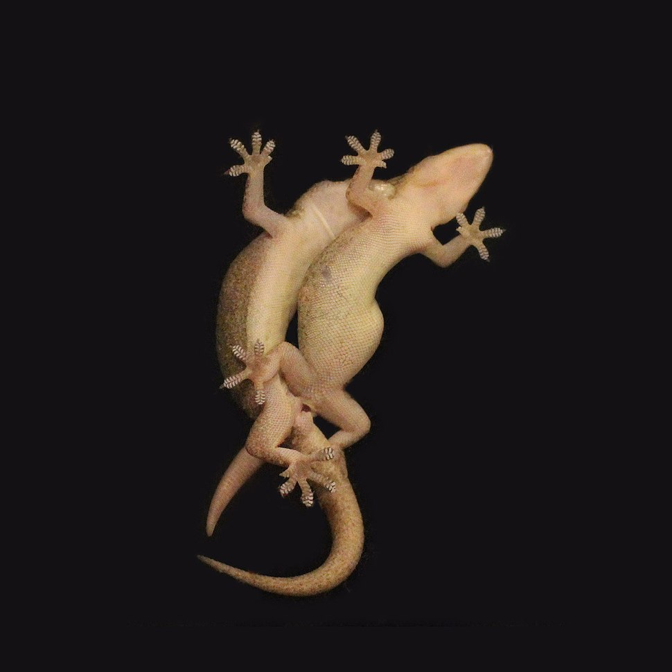 Geckos mating