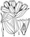 Gentiana alba-linedrawing.jpg