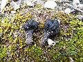 Geoglossum dunense (7.2.12-Akrotiri-Cyprus).jpg