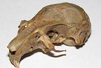 Gerbil skull