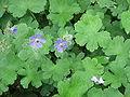 Geranium Philippe Vapelle01.jpg