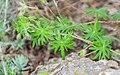 Geranium sanguineum in Aveyron (3).jpg