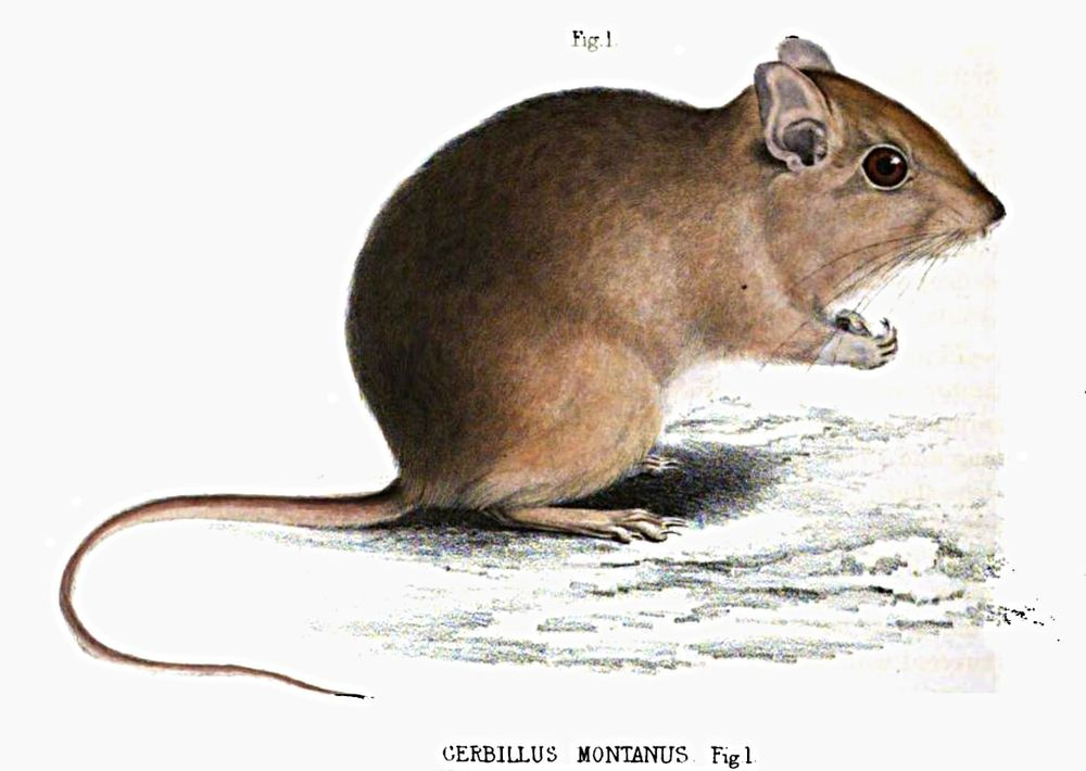 The average litter size of a Highveld gerbil is 2