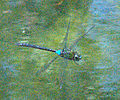 Giant Hawaiian Dragonfly - Pinao, Anax strenuus.jpg