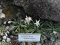 Giardino botanico alpino Viote - Leontopodium himalayanum.jpg