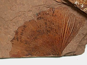 Ginkgo - Ginkgo biloba Eocene, McAbee, B.C., Canada