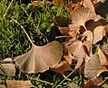 Ginkgo biloba autumn leaves.jpg