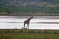 Giraffe at Pilanesberg National Park 8.jpg
