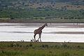 Giraffe at Pilanesberg National Park 8.jpg