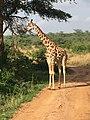 Giraffe feeding - Uganda Wildlife Educational Centre.jpg